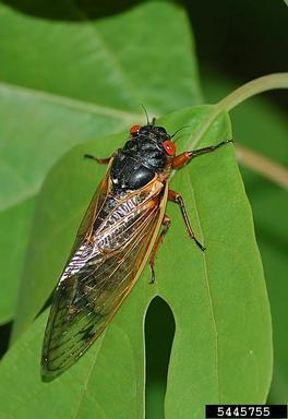 A 17-year periodical cicada. Credit: Jon Yuschock, Bugwood.org