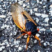 cicada_menninger