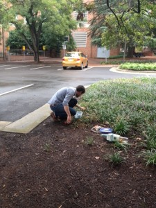Clint Penick collects Odorous House Ants from the mulch.