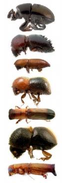 bark beetles   backyardbarkbeetles.org