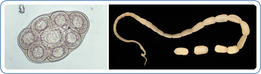 Left: Dipylidium caninum egg packet, containing 8 visible eggs, in a wet mount. Right: Adult tapeworm of D. caninum.  Credit: DPDx CDC.gov