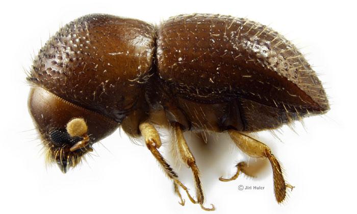 ambrosia_beetle_hulcr