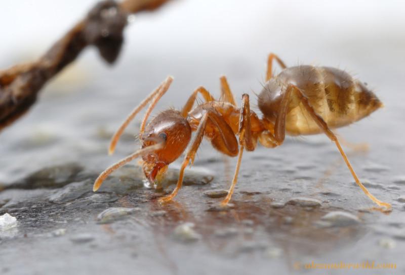 Raspberry (or tawny) crazy ant, Nylanderia fulva. Photo credit: Alex Wild
