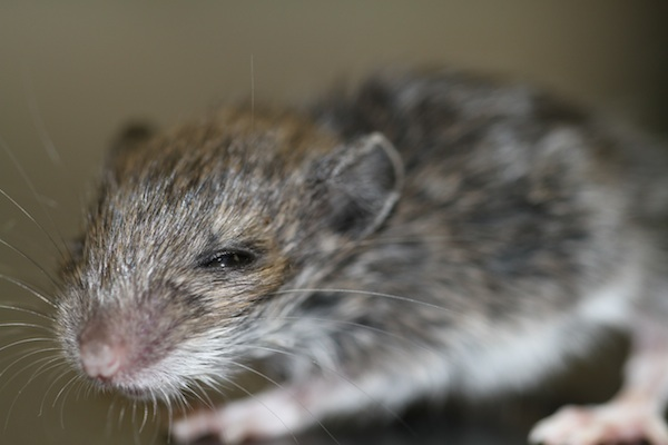 white footed mouse_670