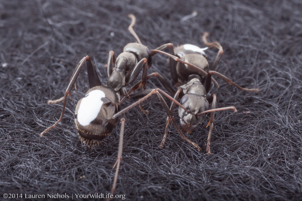 Field ants that have been painted so that Hannah can track their interactions.