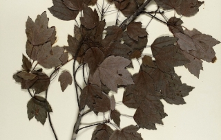 herbarium sheet_680_Youngsteadt