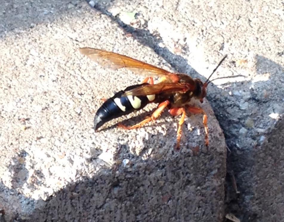 Cicada killer_670
