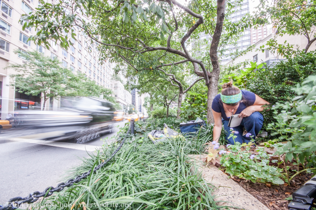 Your Wild Life Post Doc Amy Savage studies the behavior of ants living in medians along Broadway in New York City.