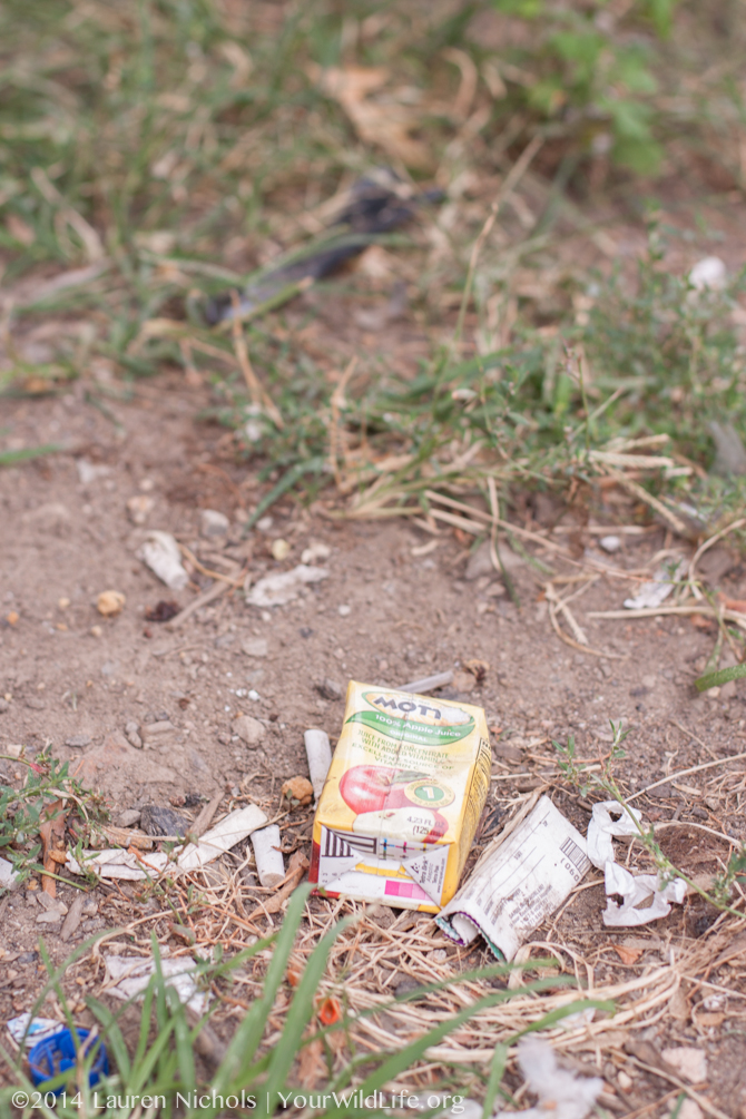 Human scraps provide a bountiful and seemingly endless supply of food for urban ants.  Your Wild Life scientists are interested in how that abundance of processed foods are affecting ants and their food preferences.