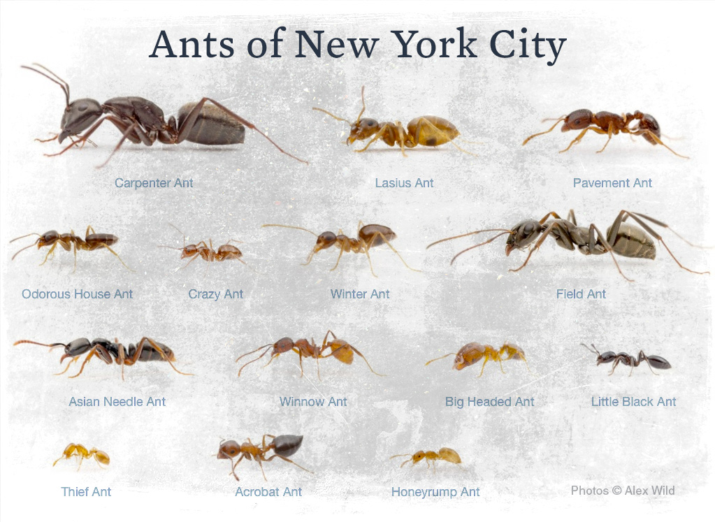 NYC_ants_cleanupcrew2