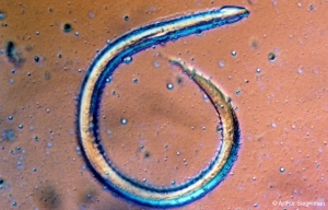 hookworm1