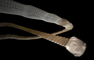 tapeworm1